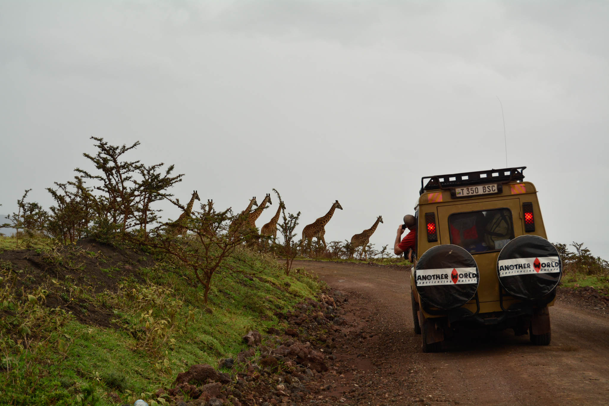 One of the tour operators stop to let their tourists photograph the Giraffes