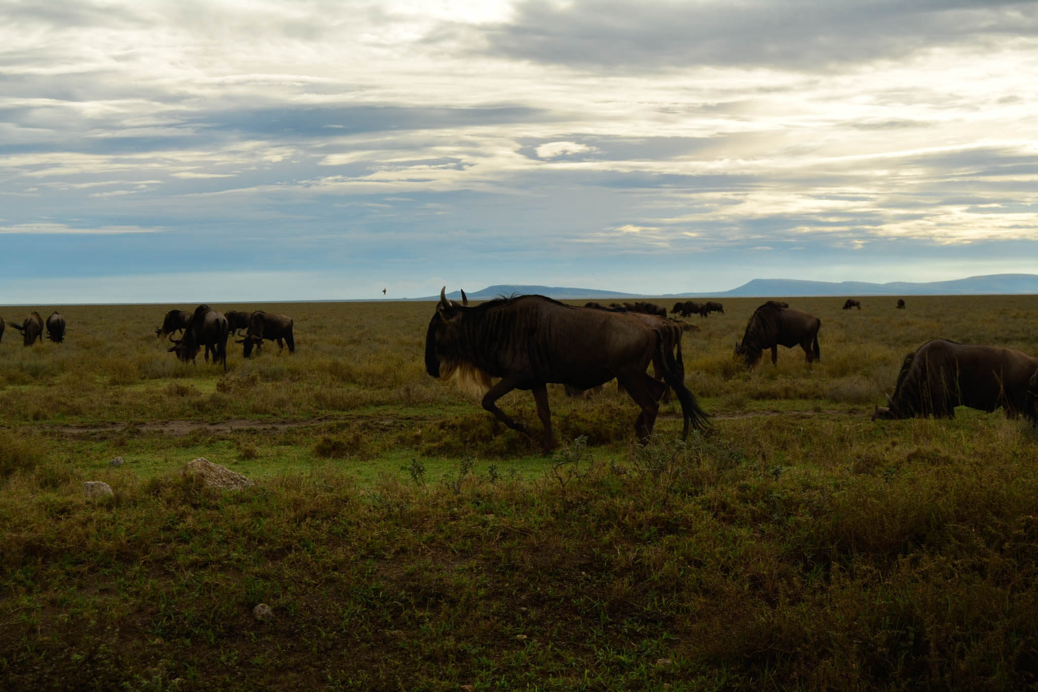 More Wildebeest!